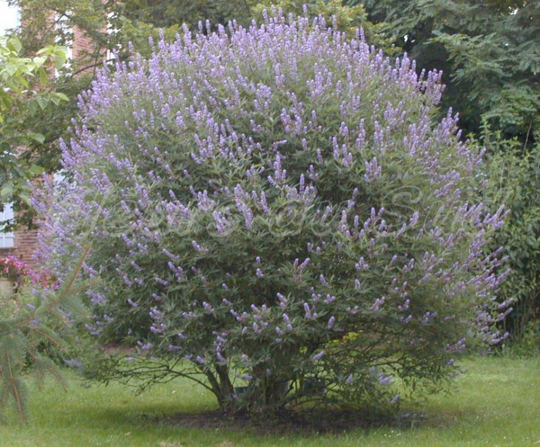 vitex agnus castus my pcos info. Black Bedroom Furniture Sets. Home Design Ideas